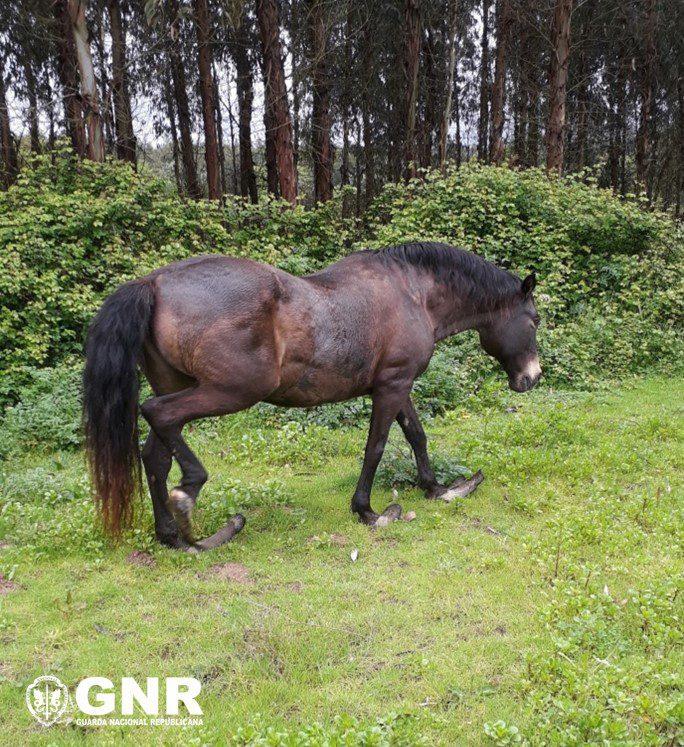 GNR resgatou cavalo abandonado há 15 anos
