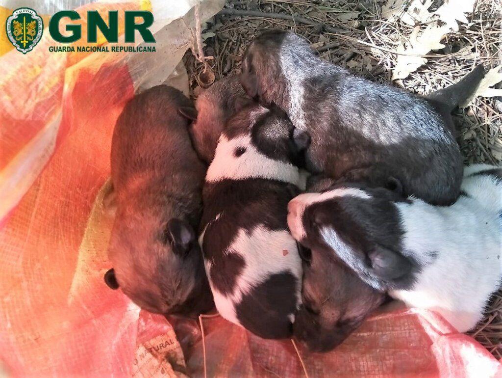 Fundão: GNR resgatou 8 cães recém-nascidos abandonados