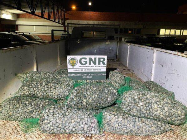 Costa de Caparica: Apreensão de 640 Kg de amêijoa-japonesa subdimensionada